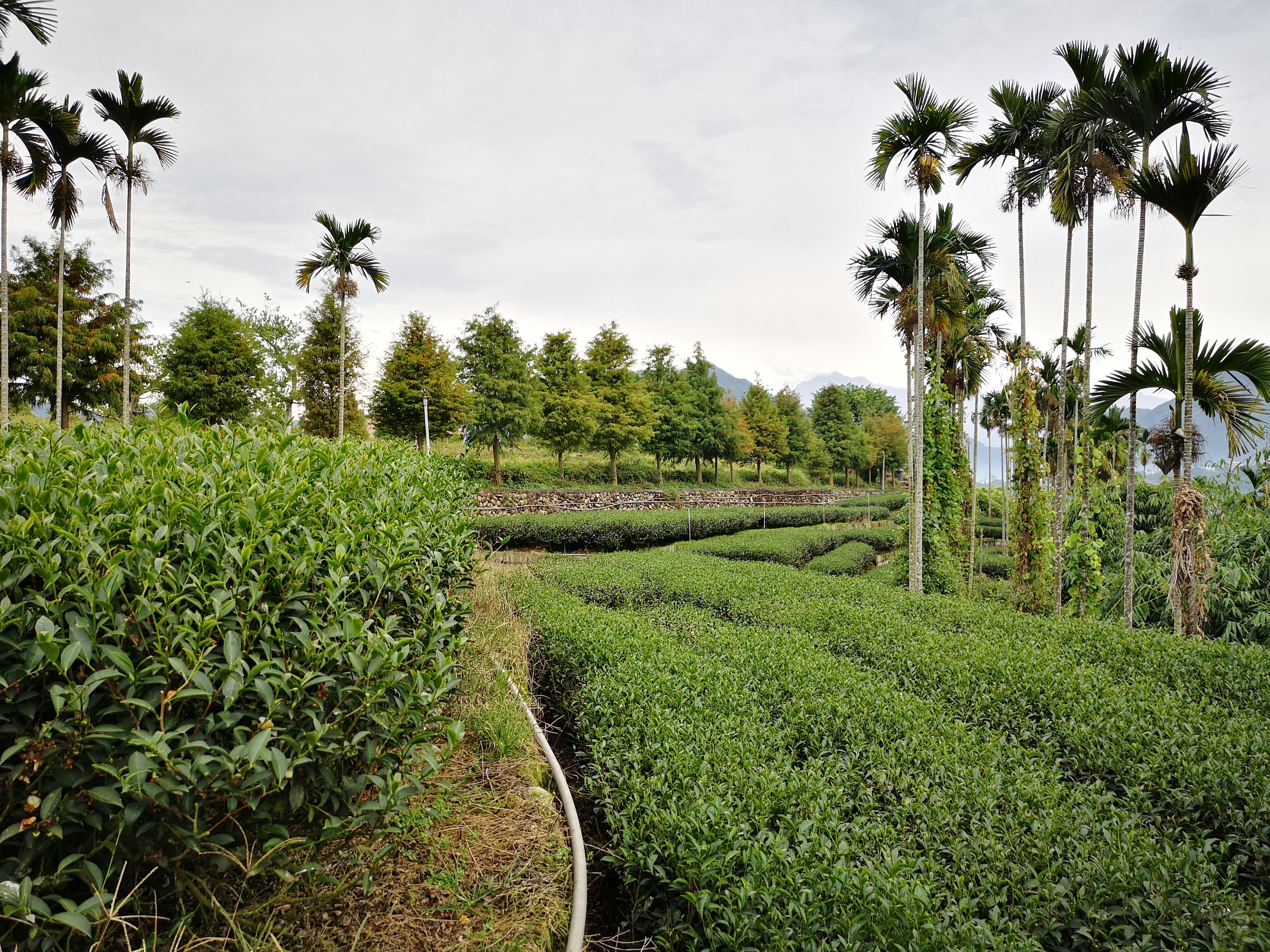 Čajová cesta na Taiwan