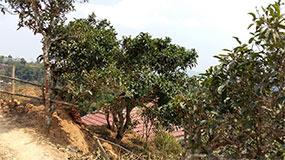 Čaj na severe Laosu.
